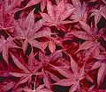 Acer palmatum Bloodgood----Bloodgood Japanese Maple