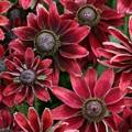 Rudbeckia Cherry Brandy