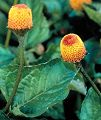 Spilanthes oleracea
