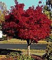 Acer palmatum atropurpureum----Japanese Red Maple