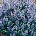 Ajuga repens----Carpet Bugle
