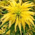Amaranthus aurora----Yellow Fountain Plant