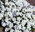 Arabis alpina----White Rock Cress