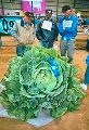 O-S Cross Cabbage