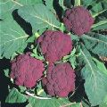 Purple Head Cauliflower