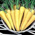 Yellow Carrot